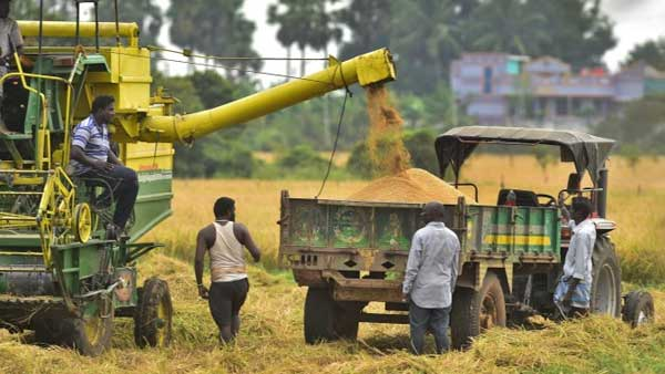 Farmers engaged in reaping at a paddy farm: