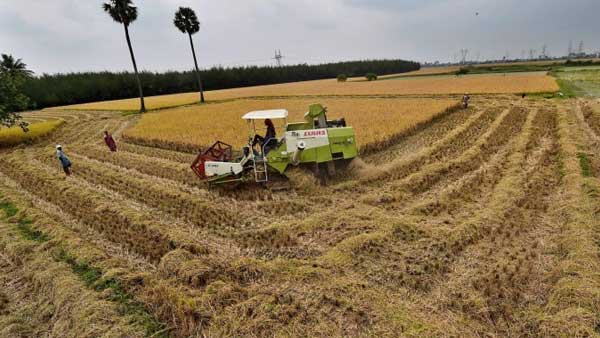 Farmers reaps new crops ahead of Pongal: