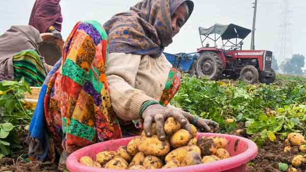 Potato disease: Late blight attack worries growers; state govt sends team to 3 districts