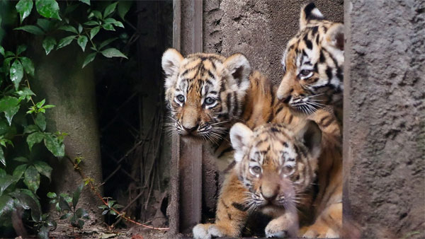 High alert: Zoos to enhance regular checking of big cats, as tiger tests positive for COVID-19 in US