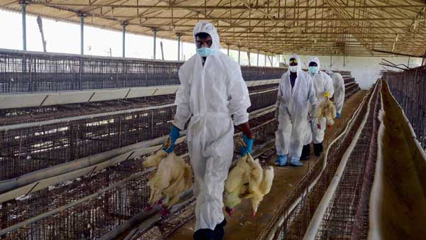 Odisha govt gives nod to consume poultry products as State records no bird flu cases