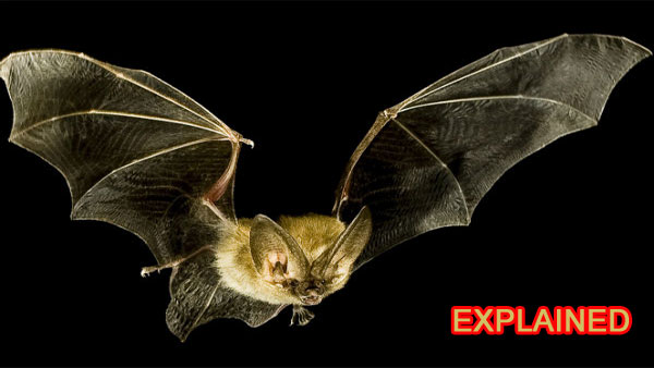 Explained: What make the bat the deadliest disease carrier