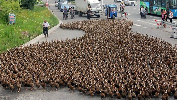 100,000 duck army of China to fight locust swarms in Pakistan