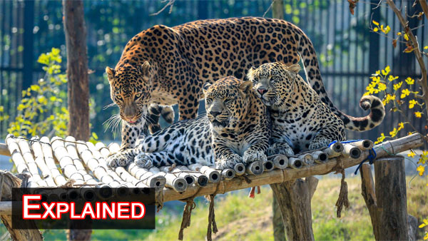 Numbers on decline: After tigers, is it time for save leopard project in India
