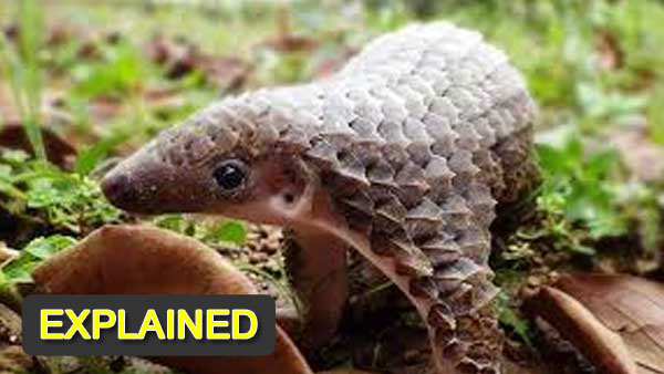 Why are Pangolins so sought after in China?