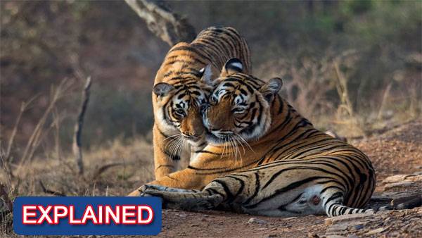 A curious case of missing Tigers from Ranthambore