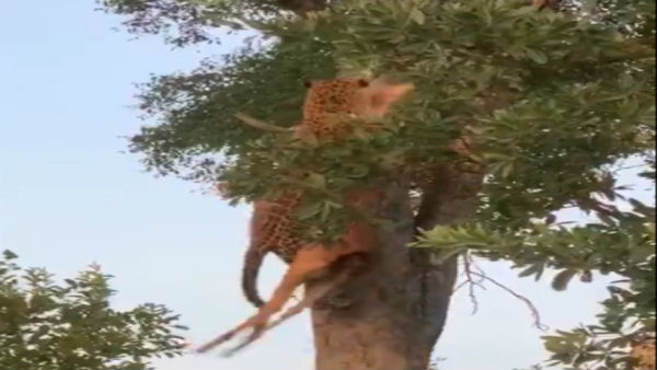 Effortless: Video of leopard climbing tree with prey leaves netizens stunned