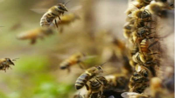 Bee attack leaves 50 injured in MP village