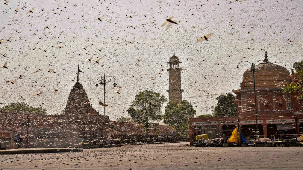 Locusts swarm UP and Maharashtra; Govt steps up control operations, drones to be deployed soon