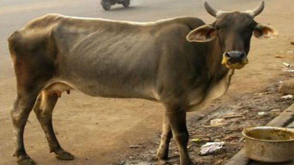 Now, pregnant cows jaw blown off by explosive in Himachal