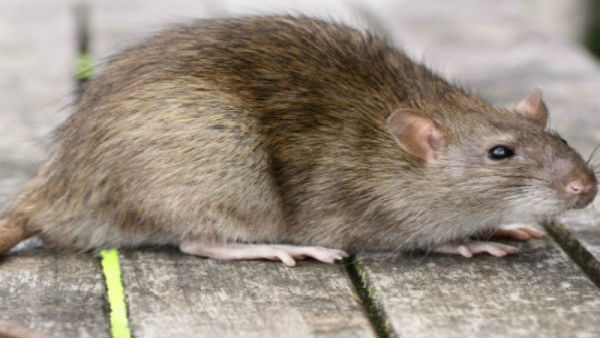 What is Bubonic Plague or Black Death? China issues warning as new disease reported in Bayan Nur