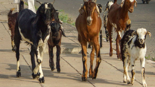 Bakri Eid: Amid outbreak, sacrificial goats get expensive