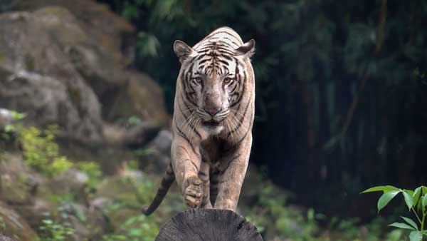 Madhya Pradesh loses 26 tigers in 2020; Birth rate more than deaths