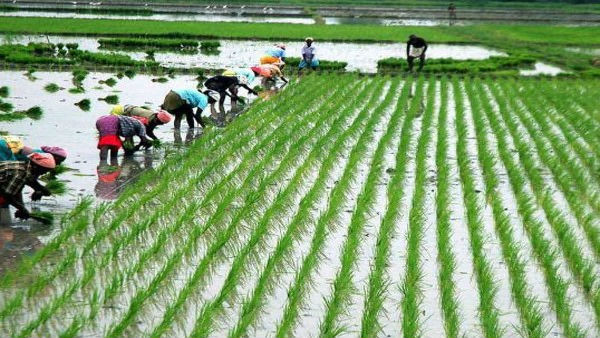 Paddy worth Rs 10.53 cr procured in last 48 hrs; MSP buying begins in all states: Govt