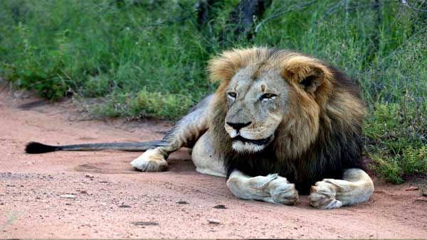 In a relief to zoo officials, all lions test negative for COVID-19