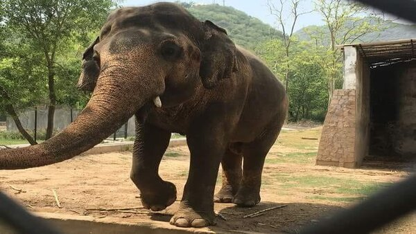 Worlds loneliest elephant leaves for Cambodia after living in Pakistan for 35 years