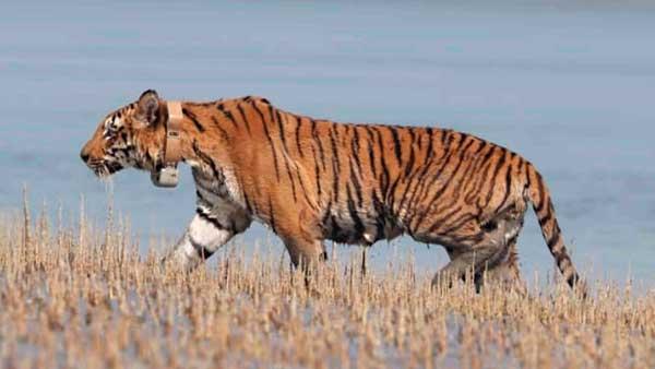 Tiger radio collared in Sunderban reserve