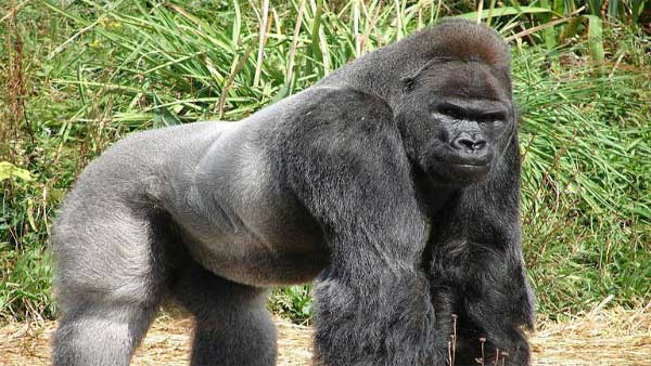 Several gorillas test positive for coronavirus at San Diego park