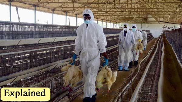 Explained: What is culling and how India is taking care of bird flu?