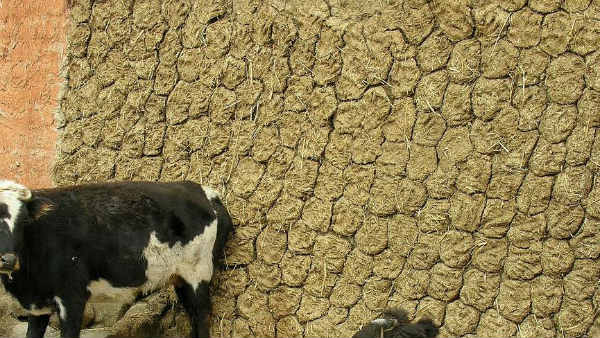 Cow dung 'therapy' not a COVID cure, may cause black fungus infection: Doctors