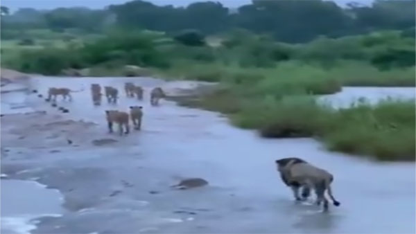 Watch: In aftermath of Cyclone Tauktae, Lions at Gir safely crossing overflowing waterway