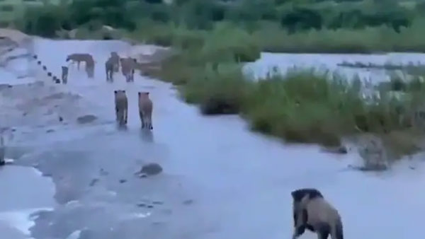 The truth behind the video of lions at Gir in the aftermath of cyclone Tauktae