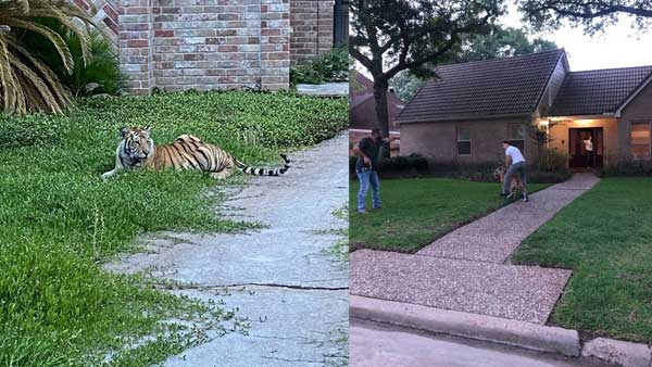 Watch: Bengal Tiger roaming freely in Texas suburb; Houston police say man arrested, animal is on the loose