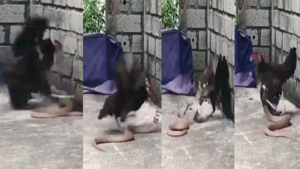 Mother's Love! This video of a hen fighting a snake to save her chicks is epic