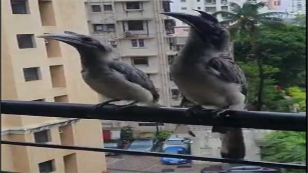 Netizens fascinated as video of Rare Indian Grey Hornbill sitting on Mumbai balcony goes viral