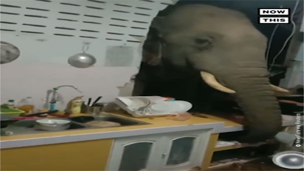 In search for food, elephant, crashes through kitchen wall; Video goes viral