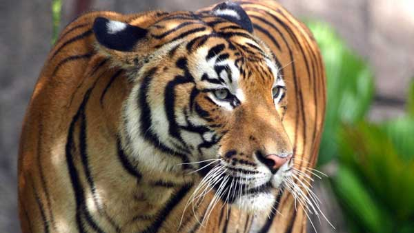 International Tiger Day 2021: What are the different species of tigers?
