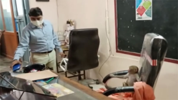 Changing tune: Video of monkey occupying principal's chair goes viral