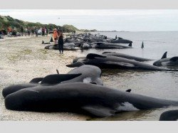 In Pics 400 Whales Stranded On New Zealand Beach
