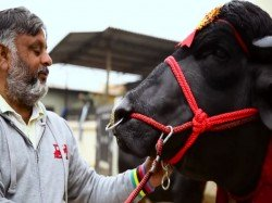 Super Bull Or Vicky Donor Yuvraj Father 1 5 Lakh Calves Is Worth Rs 9 Crore