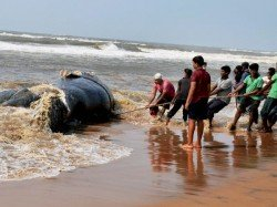 Whale Carcass Washes Ashore In Two Parts At Juhu Madh Beaches