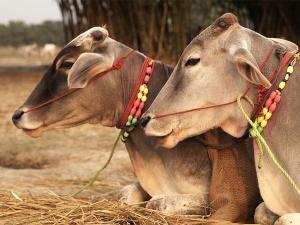 Karnataka polls: BJP's promise to ban cow slaughter makes a comeback