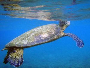Climate change is turning sea turtles