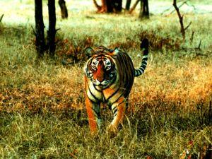 Tiger deaths due to poaching raises alar