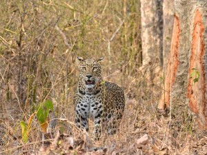 Leopards Love Cattle Goats More Than Forest Prey Here Is Why