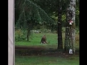 Video Woman Discovers Cougar Dragging Deer In Mouth Behind Her Home