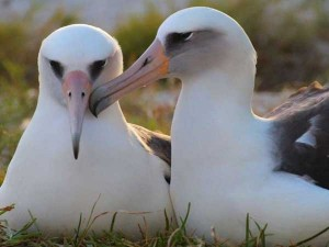 68 Year Old Albatross To Become Mother Again