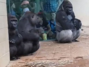 Hilarious Gorillas Human Like Reaction To Rain Is Winning Hearts On The Internet