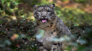 After Tiger Can India Double Its Snow Leopard Population