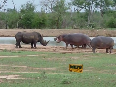 A rhino takes on a hippo family