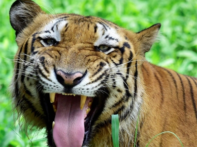 Tigers could become extinct within
