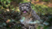 Can India double its snow leopard popula