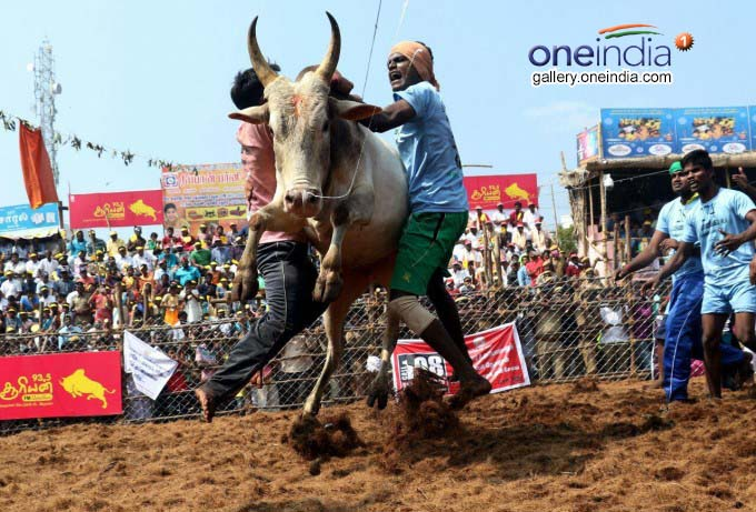 Jallikattu Held At Palamedu In Madurai