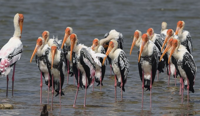 Painted Stork Birds At Pulicat Lake In Sriharikota