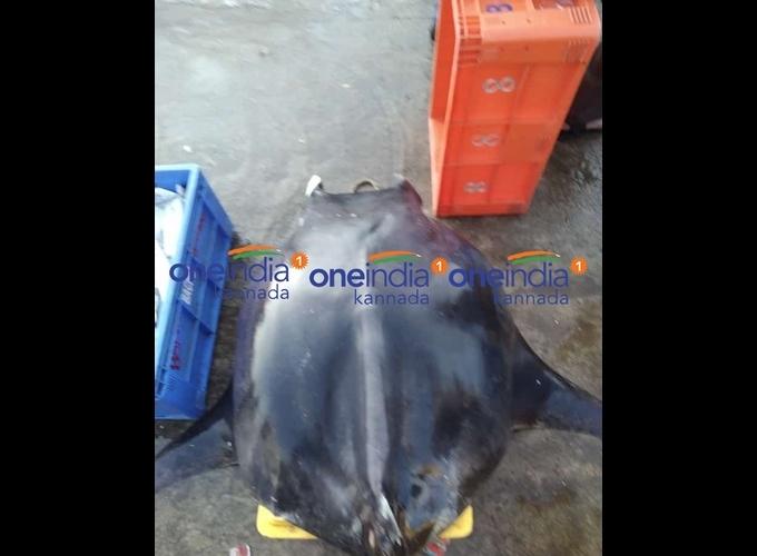 ಚಿತ್ರಗಳು: ಮಲ್ಪೆ ಕಡಲತೀರದಲ್ಲಿ ಅಪರೂಪದ ಮೀನು ಪತ್ತೆ