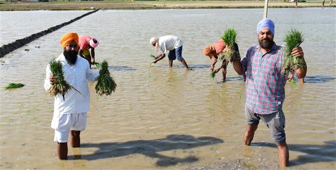 Workers Plant Paddy Saplings In A Field In Amritsar